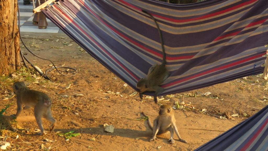 Vervet Monkeys Hammock