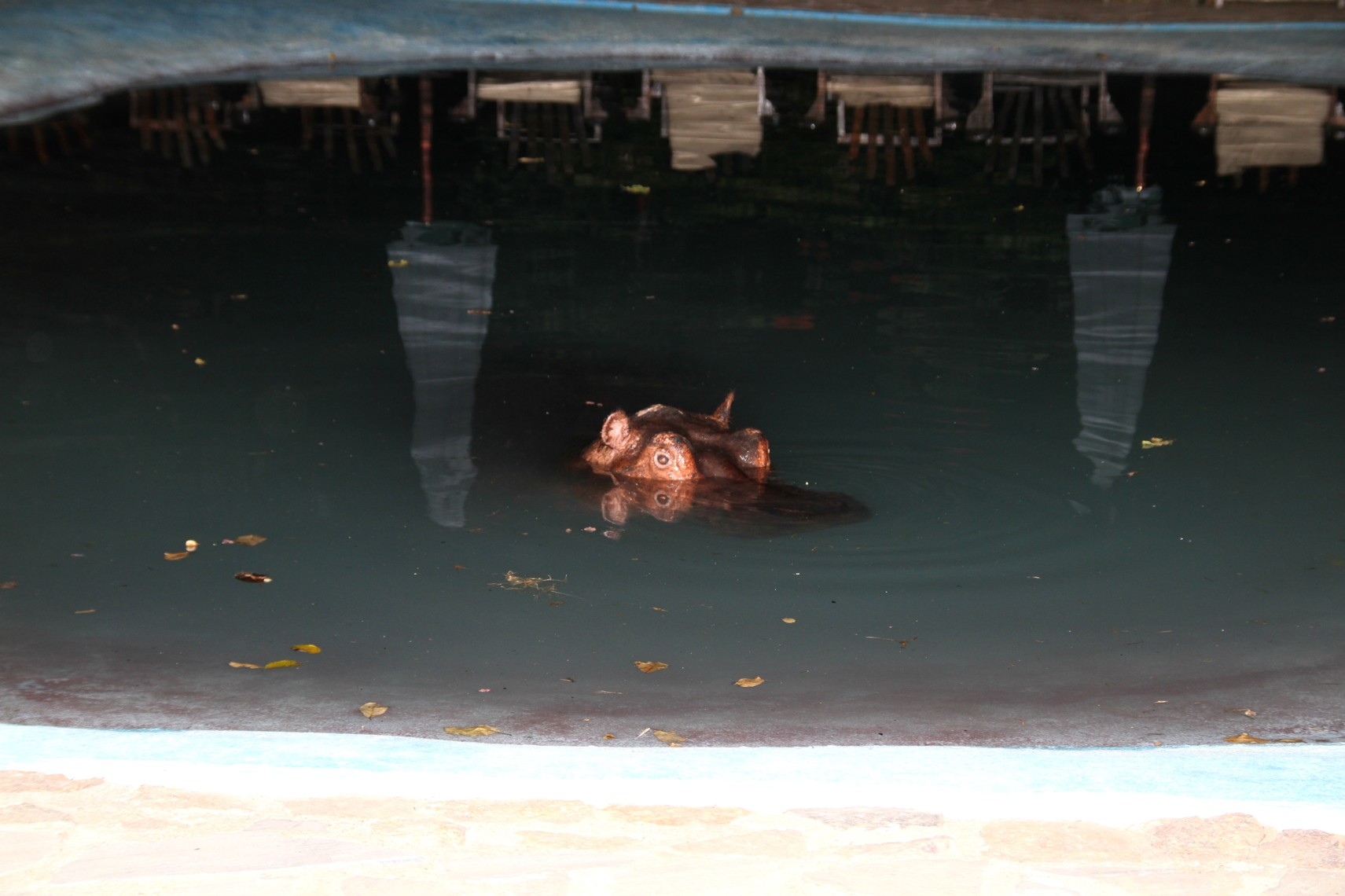 Hippo Swimming Pool