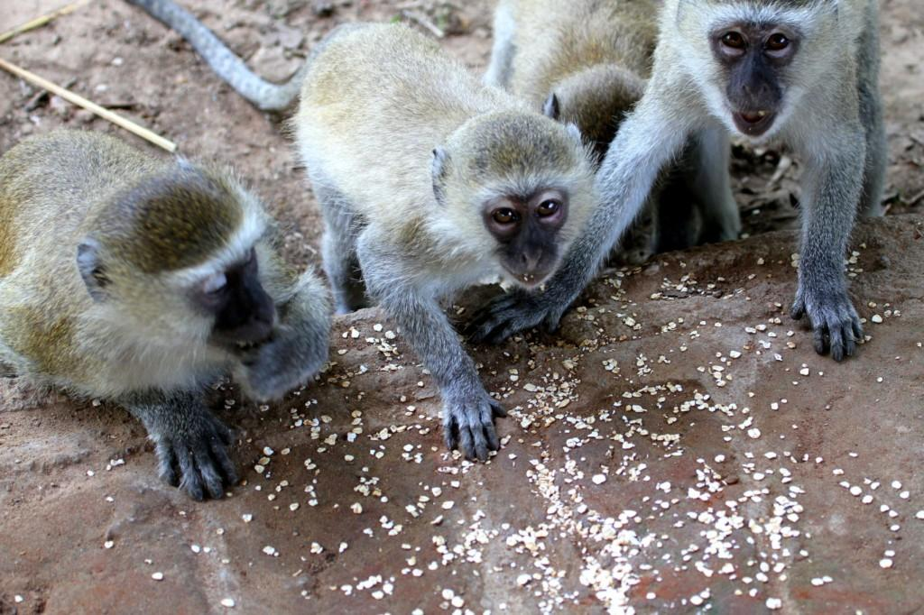 Vervet Monkeys Croc Valley