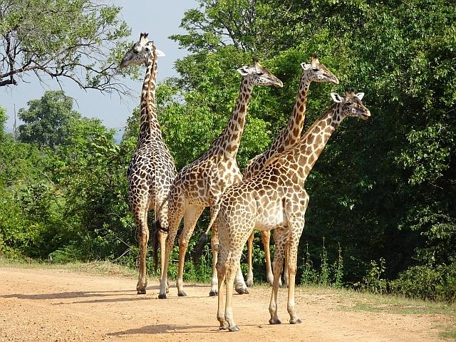 Giraffes Zambia