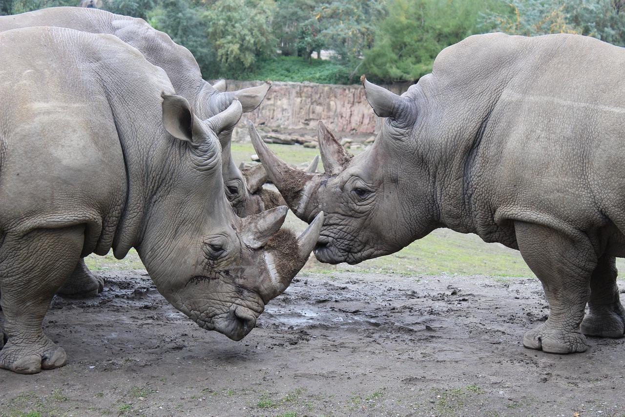 rhino-2731257_1280