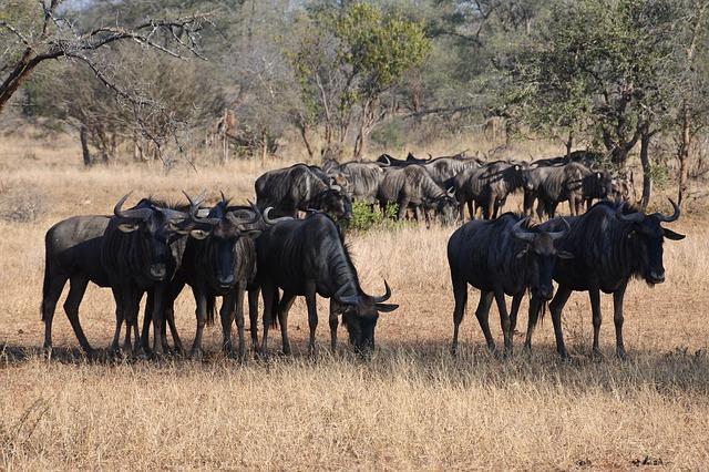 wildebeest-2541968_640