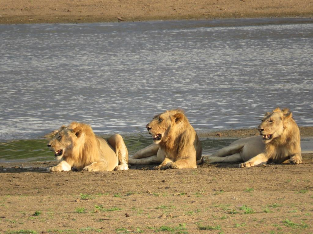 Lions South Luangwa